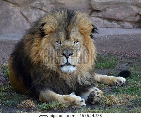 Male African Lion Captive at Denver Zoo