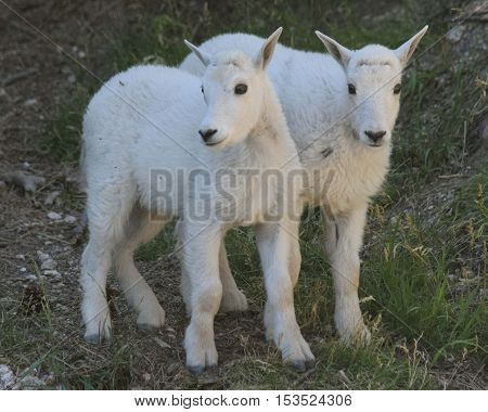 Rocky mountain goat kids at Custer State Park