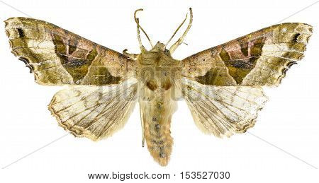 The Angle Shades on white Background - Phlogophora meticulosa (Linnaeus 1758)