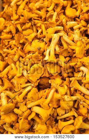 Highly detailed image of fresh chanterelle mushrooms