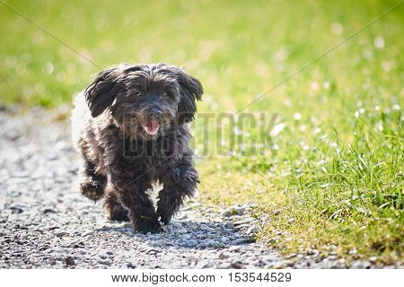 Havanese Dog Running On A Way Across The Meadows