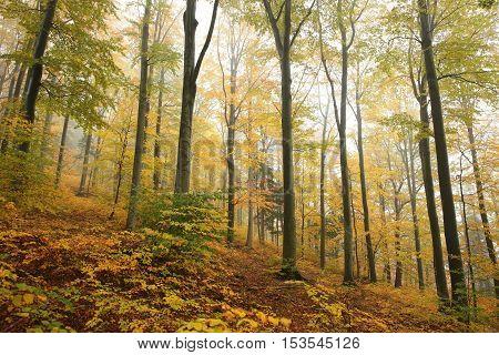 Autumn beech forest in the fog. Poland .