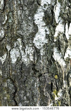 The bark of the tree. Birch. Trunk. Texture. Wood.