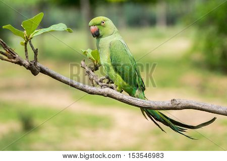 Dindigul India - October 23 2013: A green parrot is left out of its cage. Ambulant future telling merchants use the parrot to flip cards supposedly giving clues about the future of the client.