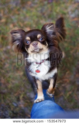 brown chihuahua dog begging outdoors in autumn