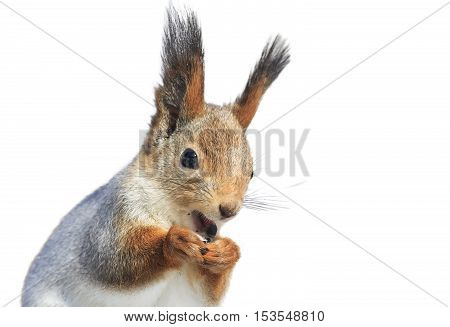 funny furry squirrel funny redhead opened his mouth on a white isolated background