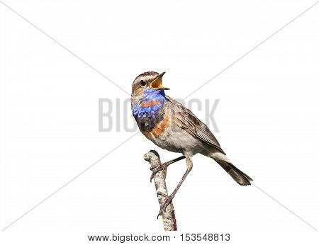 the male Bluethroat birds singing on a branch on white isolated background