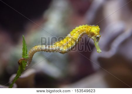 Slender seahorse (Hippocampus reidi), also known as the longsnout seahorse. Wildlife animal.