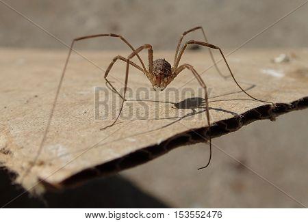 Daddy long legs arachnid waiting on a cardboard