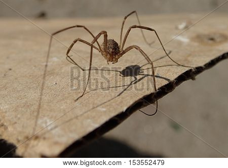 Arthropod with long legs waiting on a cardboard