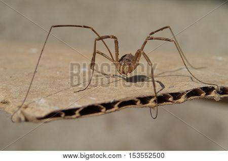 Harvest men arachnid standing on a cardboard