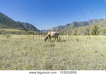 Cow grazing in a mountain meadow. Altai Mountains; Russia. Sunny summer day.