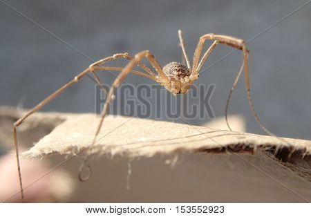 Long legs arthropod alone on a cardboard