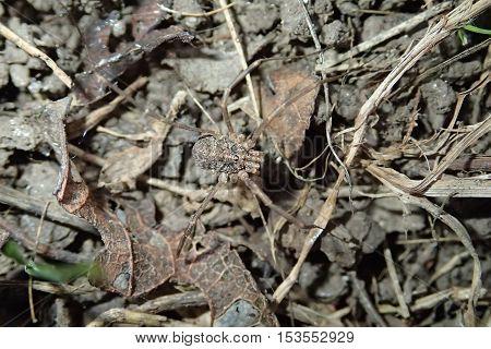 Harvest men arachnid alone on the ground