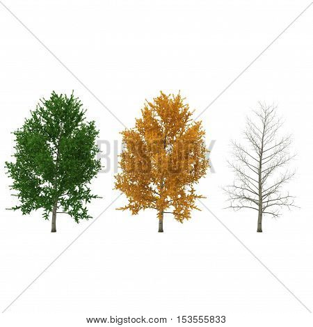 Poplars trees set isolated on a white background. 3D illustration