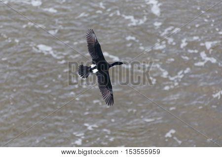 flying Pelagic Cormorant in Vancouver BC Canada