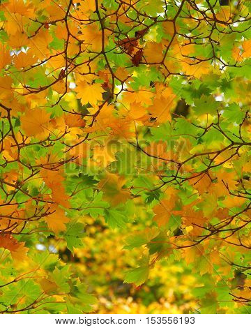 maple tree leaves in autumn with branches