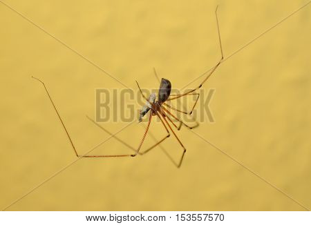 A trembling spider with prey in mandibles