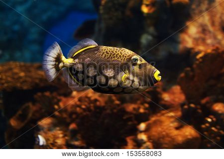 Close-up view of a Clown triggerfish (Balistoides conspicillum) soft focus