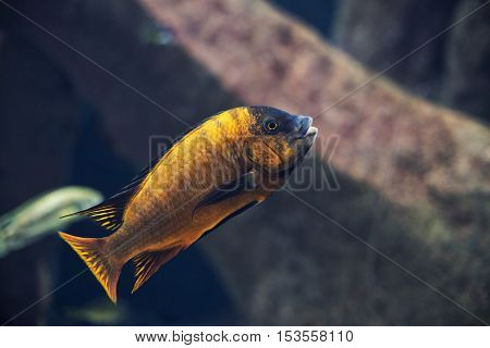close up on Iodotropheus sprengerae fish, Malawi lake
