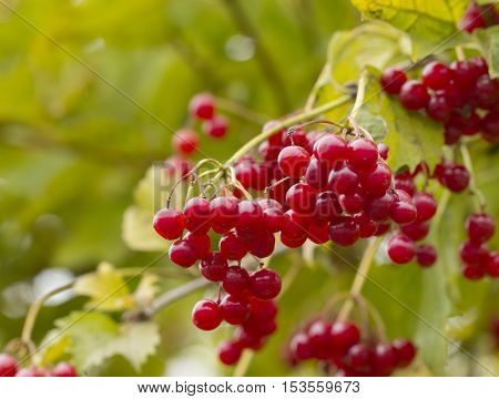 Red berries of viburnum (Adoxaceae) growing outdoors in late October. Viburnum is use as a cure against coughing and flu.