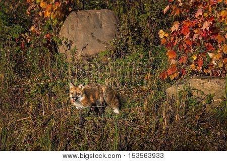 Red Fox (Vulpes vulpes) Amidst Autumn Colors - captive animal
