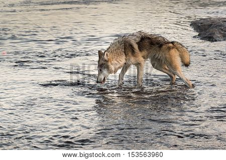 Grey Wolf (Canis lupus) Takes a Drink - captive animal