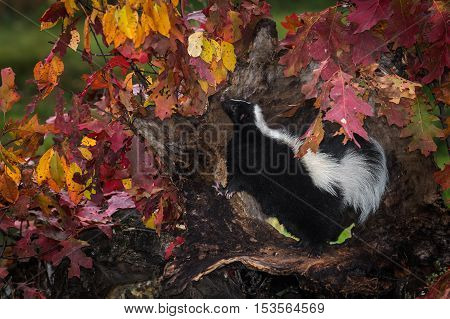 Striped Skunk (Mephitis mephitis) Stands Up to Sniff - captive animal poster