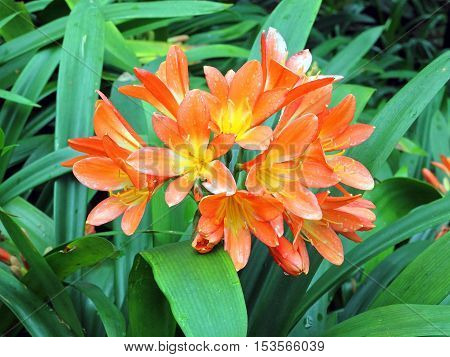 Cluster of orange Clivia flowers in rain on the island of Madeira