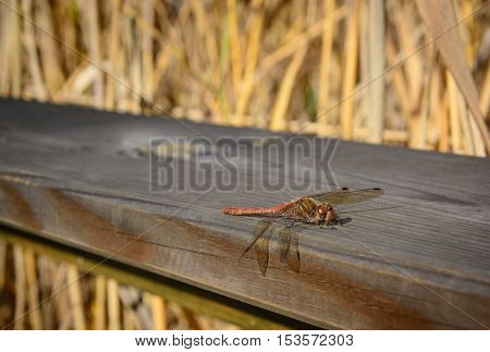Dragonfly on an indistinct background in a horizontal format