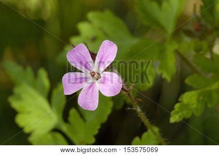 Herb-robert - Geranium robertianum Small pink flower