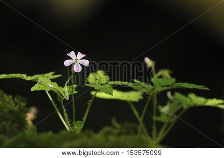 Herb-robert - Geranium robertianum Against dark dackground