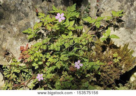 Herb-robert - Geranium robertianum on Limestone wall