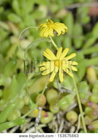 Little Pickles - Othonna capensis Rock Garden Plant Native of South Africe