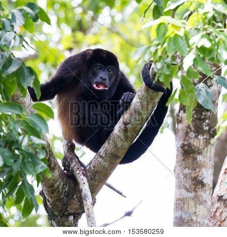 Mantled Howler Monkey - Alouatta Palliata