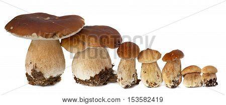 Family of white porcini. Wild Foraged Mushroom selection isolated on white background, with shadow. Boletus Edulis mushrooms over white background