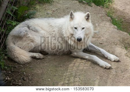 Arctic wolf (Canis lupus arctos), also known as the Melville Island wolf.  Wildlife animal.