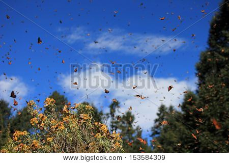 Monarch Butterflies in Michoacan, Mexico, millions are migrating every year and waking up with the sun. poster