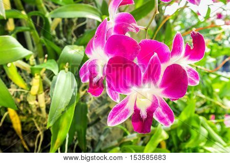 Pink orchid flower at the garden ,Flowers bloom at dawn