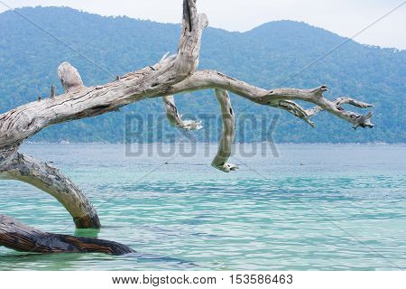 Dead Tree At Adang Rawee Beach  Thailand