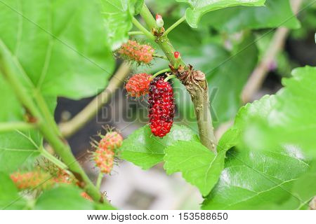 Mulberry fruit on tree, black ripe and red unripe mulberry on the branch in nature, selective focus.