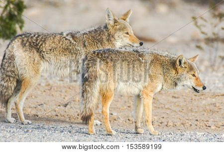 Coyotes (Canis latrans) in the desert morning. Panamint Springs, Death Valley National Park, California and Nevada, USA