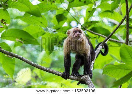 White Headed Capuchin -  Cebus Capucinus - Pura Vida