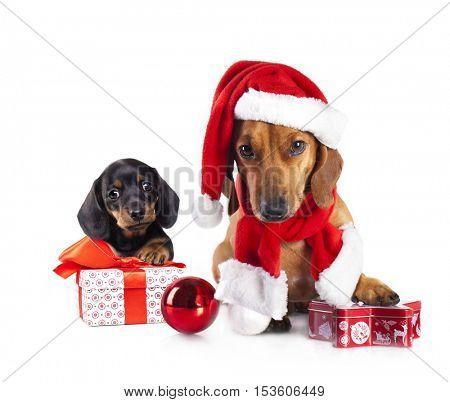 puppy  and dog dachshund  wearing a santa hat