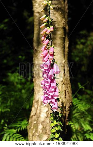 Nice foxglove in the background with a tree and plants