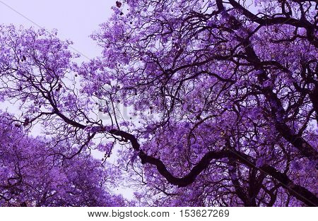 Beautiful blooming violet branches of Jacaranda. Brooklyn. Pretoria. Spring in South Africa.