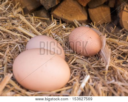 Close-up natural brown chicken eggs on a bed of straw with feather. Eggs on the roost close up with blurred background and the soft, selective focus