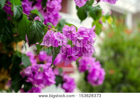 Bougainvillea blooms in September in the city park