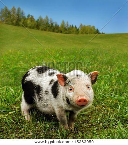 Cute spotty piglet