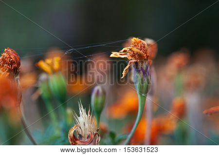 Flowers Marigold And Spiderweb